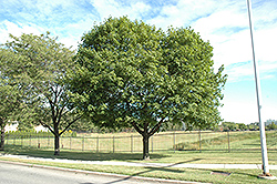 Norway Maple (Acer platanoides) at Plumline Nursery