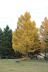 European Larch (Larix decidua) at Plumline Nursery