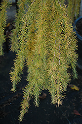 Varied Directions Larch (Larix decidua 'Varied Directions') at Plumline Nursery