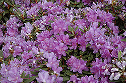 Purple Gem Rhododendron (Rhododendron 'Purple Gem') at Plumline Nursery