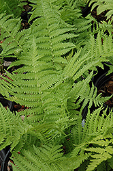 The King Ostrich Fern (Matteuccia 'The King') at Plumline Nursery