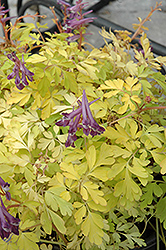 Berry Exciting Corydalis (Corydalis 'Berry Exciting') at Plumline Nursery