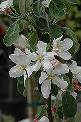 Granny Smith Apple (Malus 'Granny Smith') at Plumline Nursery
