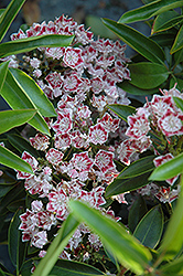 Carousel Mountain Laurel (Kalmia latifolia 'Carousel') at Plumline Nursery