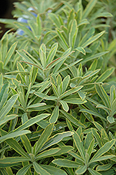 Ascot Rainbow Variegated Spurge (Euphorbia 'Ascot Rainbow') at Plumline Nursery