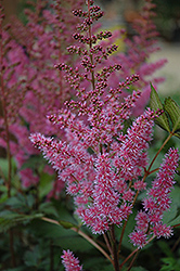 Maggie Daley Astilbe (Astilbe chinensis 'Maggie Daley') at Plumline Nursery