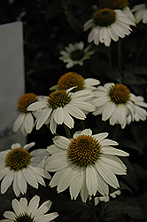 PowWow White Coneflower (Echinacea purpurea 'PowWow White') at Plumline Nursery
