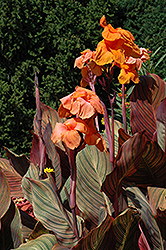 Tropicanna Canna (Canna 'Tropicanna') at Plumline Nursery