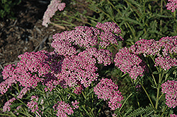 Little Susie Yarrow (Achillea millefolium 'Little Susie') at Plumline Nursery