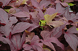 Sweet Caroline Red Sweet Potato Vine (Ipomoea batatas 'Sweet Caroline Red') at Plumline Nursery