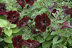 Black Satin Petunia (Petunia 'Black Satin') at Plumline Nursery