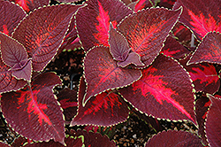 ColorBlaze® Kingswood Torch Coleus (Solenostemon scutellarioides 'Kingswood Torch') at Plumline Nursery