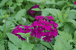 Superbena® Purple Verbena (Verbena 'Superbena Purple') at Plumline Nursery