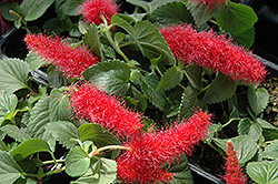 Firetail Chenille Plant (Acalypha hispida) at Plumline Nursery