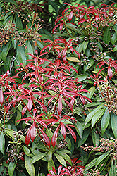 Valley Valentine Japanese Pieris (Pieris japonica 'Valley Valentine') at Plumline Nursery