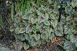 Green Spice Coral Bells (Heuchera 'Green Spice') at Plumline Nursery