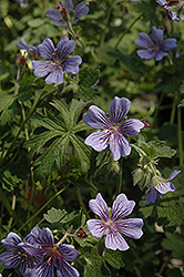 Brookside Cranesbill (Geranium 'Brookside') at Plumline Nursery