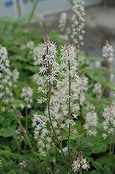 Dark Star Foamflower (Tiarella 'Dark Star') at Plumline Nursery