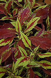Pineapple Coleus (Solenostemon scutellarioides 'Pineapple') at Plumline Nursery