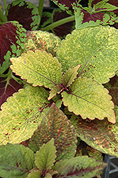Honey Crisp Coleus (Solenostemon scutellarioides 'Honey Crisp') at Plumline Nursery