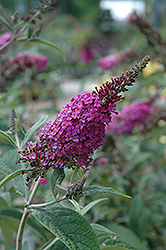 Miss Ruby Butterfly Bush (Buddleia davidii 'Miss Ruby') at Plumline Nursery