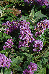 Lo And Behold® Purple Haze Dwarf Butterfly Bush (Buddleia 'Lo And Behold Purple Haze') at Plumline Nursery