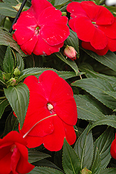 Sonic® Red New Guinea Impatiens (Impatiens 'Sonic Red') at Plumline Nursery