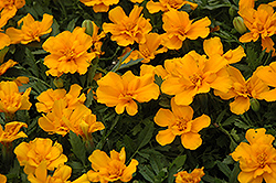 Safari Orange Marigold (Tagetes patula 'Safari Orange') at Plumline Nursery