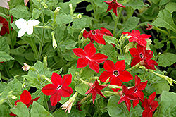 Saratoga Mix Flowering Tobacco (Nicotiana 'Saratoga Mix') at Plumline Nursery