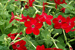 Saratoga Deep Rose Flowering Tobacco (Nicotiana 'Saratoga Deep Rose') at Plumline Nursery