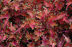 Under the Sea™ Molten Coral Coleus (Solenostemon scutellarioides 'Molten Coral') at Plumline Nursery