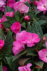 Celebration Lavender Glow New Guinea Impatiens (Impatiens hawkeri 'Celebration Lavender Glow') at Plumline Nursery