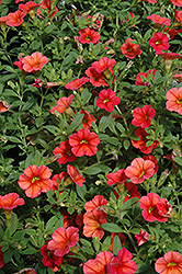 Can-Can® Orange Calibrachoa (Calibrachoa 'Can-Can Orange') at Plumline Nursery