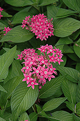 Egyptian Star Flower (Pentas lanceolata) at Plumline Nursery