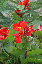 Tropical Red Canna (Canna 'Tropical Red') at Plumline Nursery