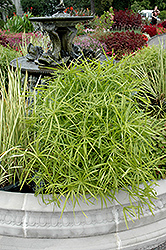 Umbrella Plant (Cyperus alternifolius) at Plumline Nursery