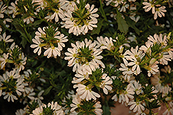 Whirlwind® White Fan Flower (Scaevola aemula 'Whirlwind White') at Plumline Nursery