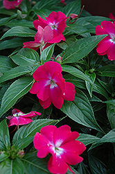 Celebration Raspberry Rose New Guinea Impatiens (Impatiens hawkeri 'Celebration Raspberry Rose') at Plumline Nursery