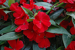 Celebration Deep Red New Guinea Impatiens (Impatiens hawkeri 'Celebration Deep Red') at Plumline Nursery