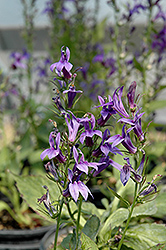 Fan Blue Cardinal Flower (Lobelia x speciosa 'Fan Blue') at Plumline Nursery