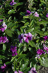 First Kiss Blueberry Vinca (Catharanthus roseus 'First Kiss Blueberry') at Plumline Nursery