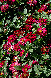 Profusion Double Cherry Zinnia (Zinnia 'Profusion Double Cherry') at Plumline Nursery
