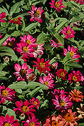 Profusion Cherry Zinnia (Zinnia 'Profusion Cherry') at Plumline Nursery