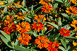 Profusion Orange Zinnia (Zinnia 'Profusion Orange') at Plumline Nursery