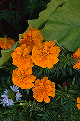 Durango Orange Marigold (Tagetes patula 'Durango Orange') at Plumline Nursery