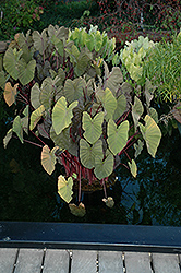 Royal Hawaiian® Maui Magic Elephant Ear (Colocasia esculenta 'Maui Magic') at Plumline Nursery