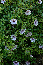 Superbells® Trailing Lilac Mist Calibrachoa (Calibrachoa 'Superbells Trailing Lilac Mist') at Plumline Nursery