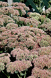 Autumn Fire Stonecrop (Sedum spectabile 'Autumn Fire') at Plumline Nursery