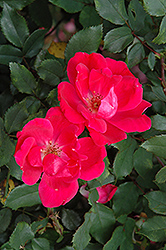 Red Knock Out® Rose (Rosa 'Red Knock Out') at Plumline Nursery