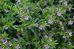 False Heather (Cuphea hyssopifolia) at Plumline Nursery